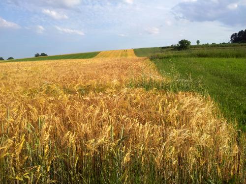 Ein langgestrecktes Weizenfeld