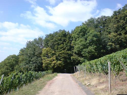 Ein Weinberg im Sommer.