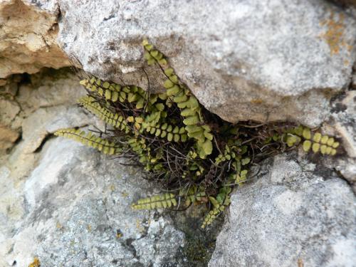 Farn wächst an Felsen.