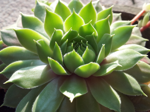 Saftig grüne Fettpflanze.