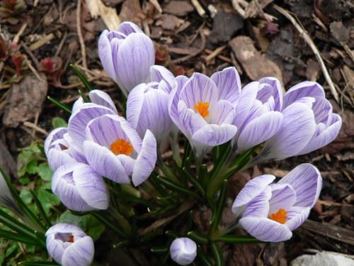 Krokusblüten im Frühjahr.