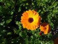 Zum Bild Ringelblume