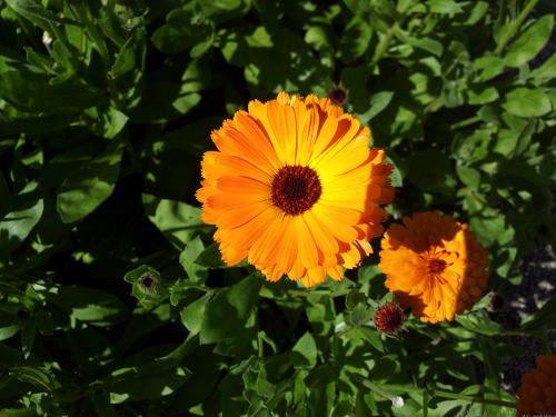 Blüte einer Ringelblume.