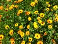 Zum Bild Ringelblumen