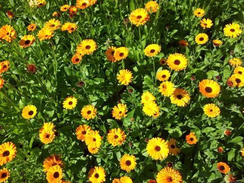 Ein Beet an Ringelblumen.