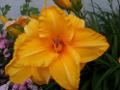 Zum Bild Taglilie