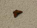 Zum Bild Schmetterling