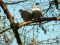 Zum Bild Tauben