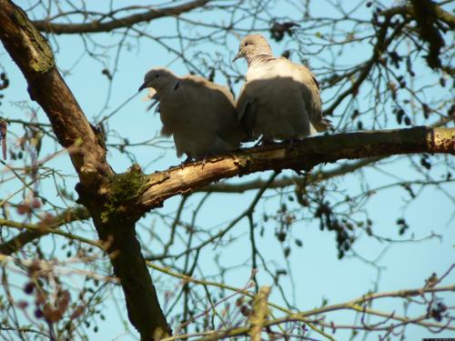 Glückliches Taubenpaar auf einem Ast.