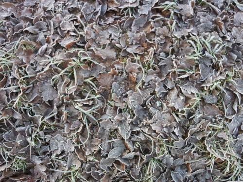 Rotbraunes Laub mit Frostschicht.
